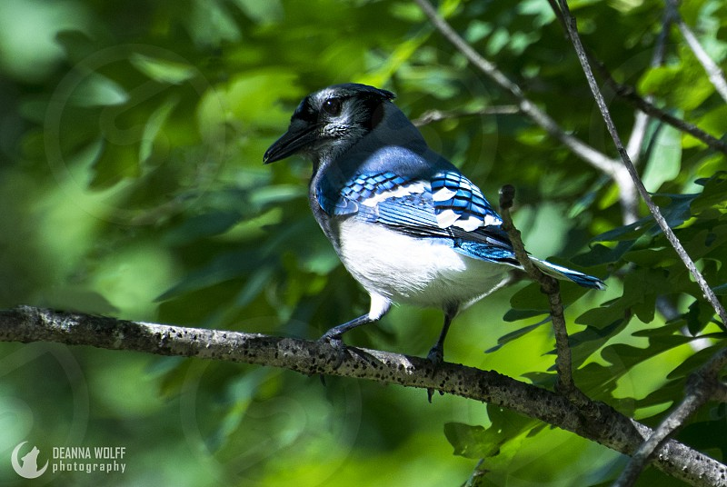 Beautiful blue jay looking at you! photo
