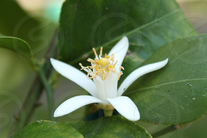 white 5 petaled flower photo