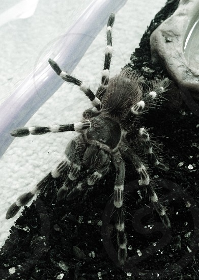 Mexican white knee Tarantula  photo