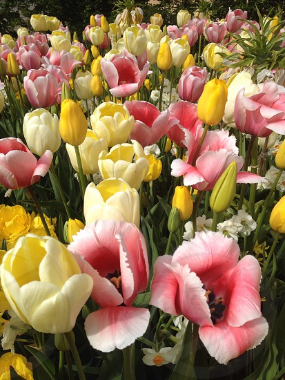 yellow and pink field of tulips on daylight photo