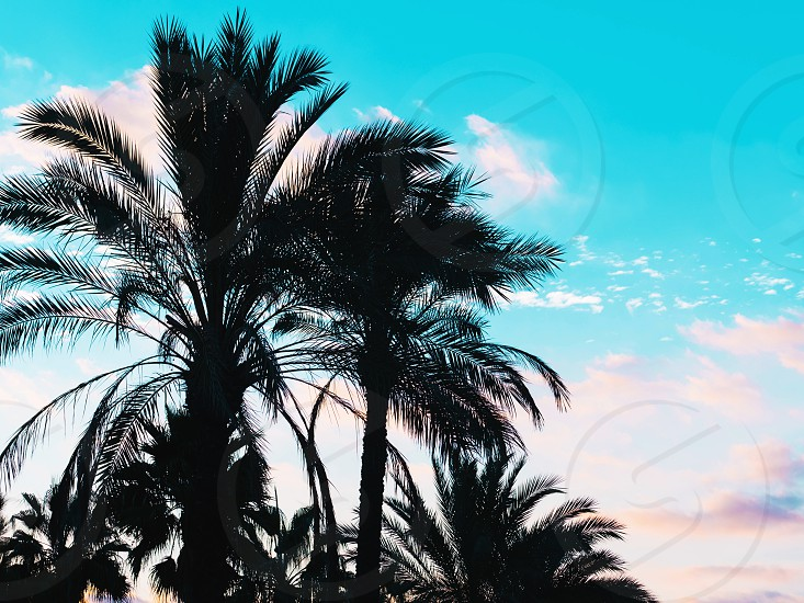 Palms against blue sky Palm trees at tropical coast vintage toned and stylized coconut tree summer retro photo
