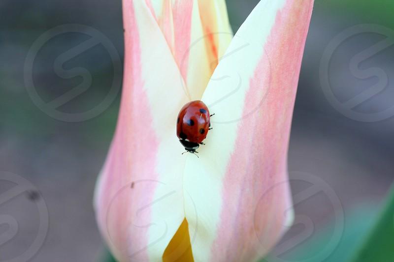 ladybug on pink and white flower photo