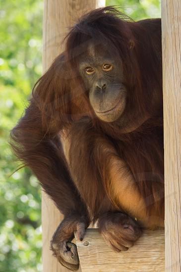 Orangutan Borneo monkey primate zoo smile portrait animal photo