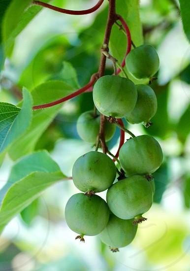 Green kiwi kiwi fruit fruit fresh grow branch tree leaf leaves mini baby kiwi  photo