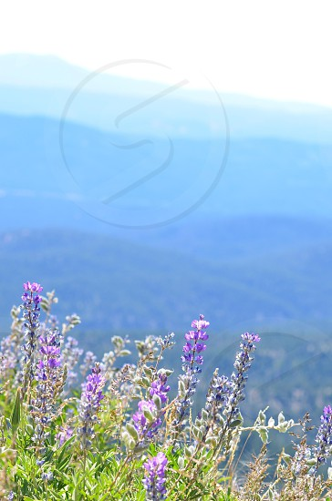 Wild flowers purple flowers nature mountain view scenery peaceful shades of blue photo