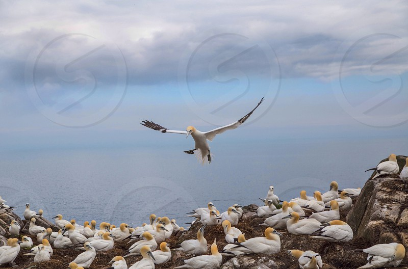 A gannet about to land on the Saltee Islands just off the south east coast of Ireland. photo