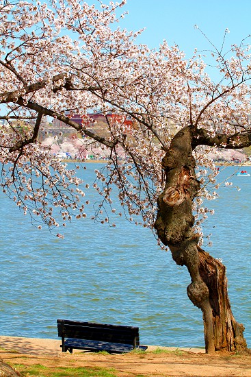 Peaceful seating under a Cherry Blossom Tree in D.C. photo