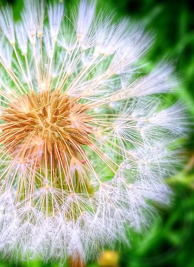 Dandelionflowers photo