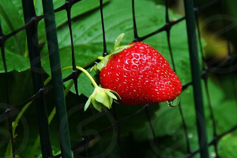 Homegrown Strawberry (Red Juicy Fruit Berry Fresh Organic Garden) photo