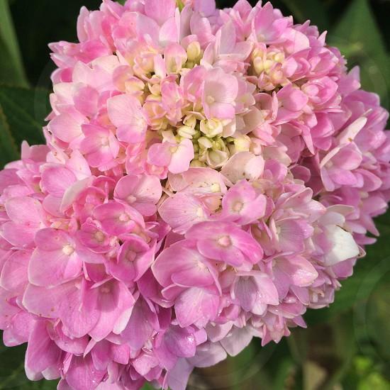 Hydrangea Fall Autumn Kentucky Garden Bloom pink dew photo
