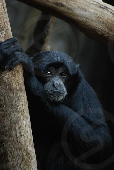 black monkey photo