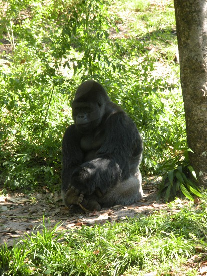 Silverback gorilla. Ape monkey primate animal jungle forest photo