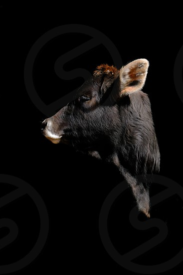 Heifer calf profile against black background. photo