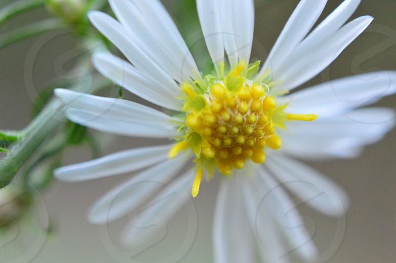 white gold daisy macro glow flower closeup nature photo