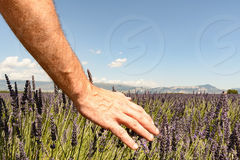 A hand of a man caressing some lavender flowers in a field in Provence photo
