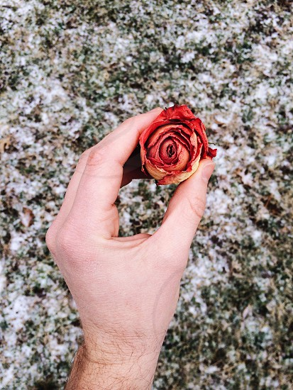 person holding a red rose photo