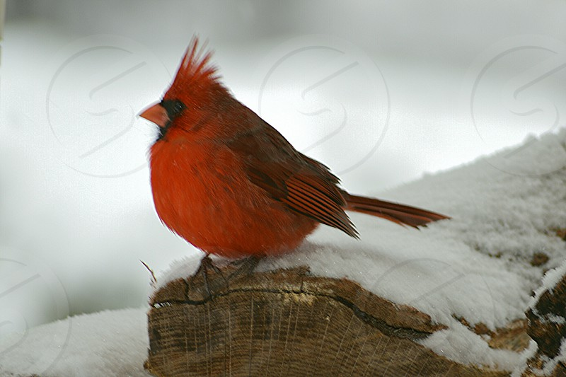 red cardinal bird on snow covered surface during daytime photo