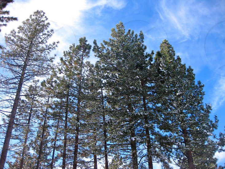 Snow covered trees and blue skies. Winter in Lake Tahoe.  photo