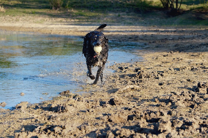 Black dog running through pond water with ball in mouth during sunset. photo
