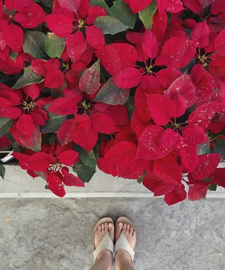 poinsettia plant photo