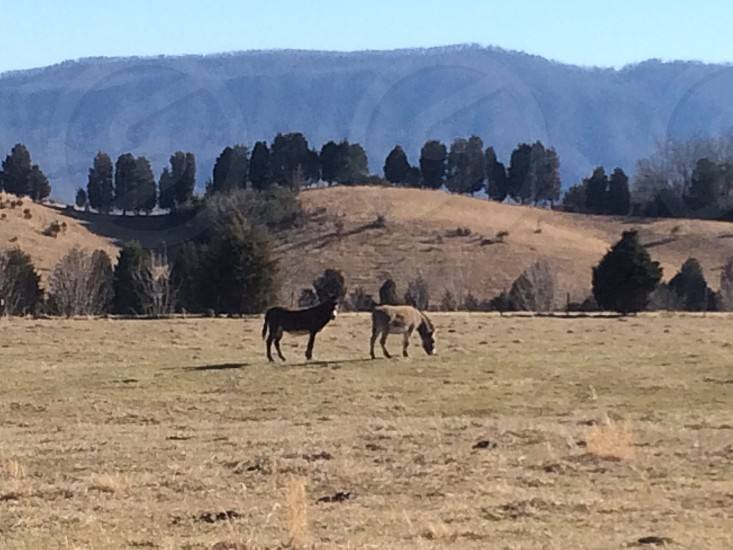 Donkeys in a field in winter. Taken in the foothills of the Smoky Mountains. Blount County Tennessee photo