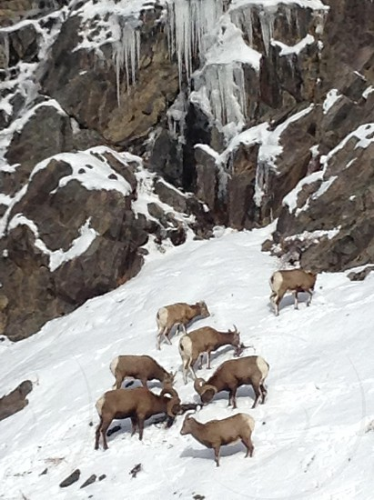 Rams on snowy Colorado mountain photo