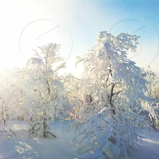 trees with snow photography photo