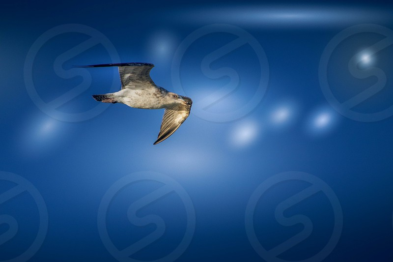Juvenile European Herring Gull (Larus argentatus) photo