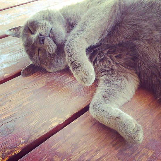 Gray cat on a hot day. Requests belly rubs. photo