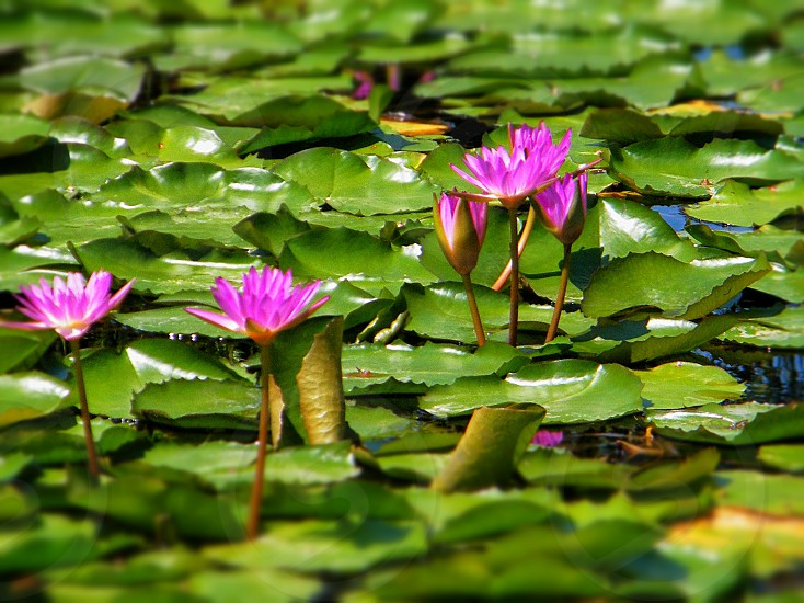 Purple Lilies in a Pond photo