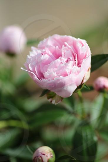 Spring peony pink garden photo