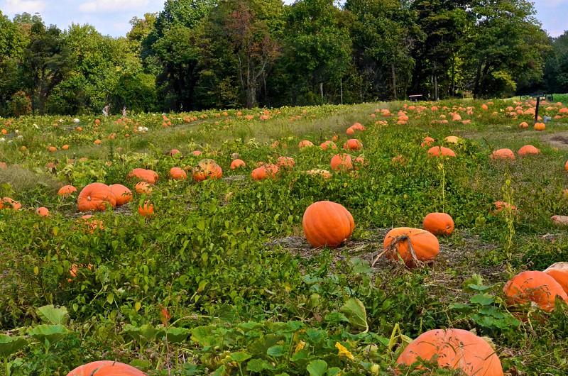 Pumpkins in field photo