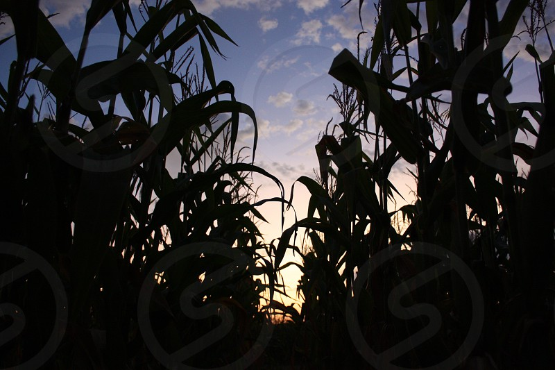 Corn king corn corn field Midwest Iowa Wisconsin Minnesota Ohio corn syrup corn bread corn oil ethanol crop crops field farm farmers farming grow plants veggies vegetable silhouette sunset sky pretty colors lights photo