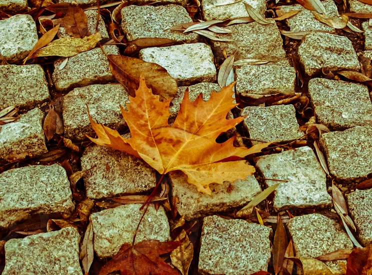 maple leaf fallen onto the paving stones photo