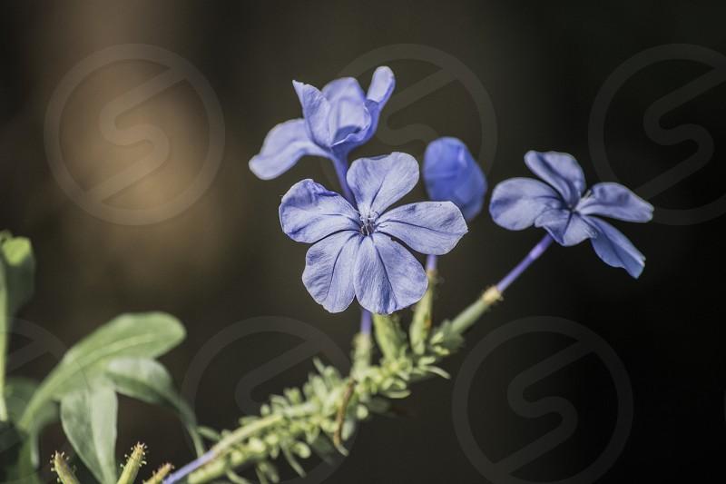 Hydrangea plant photo