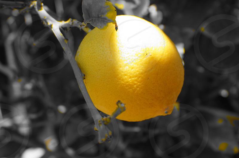 lemon on the tree photo