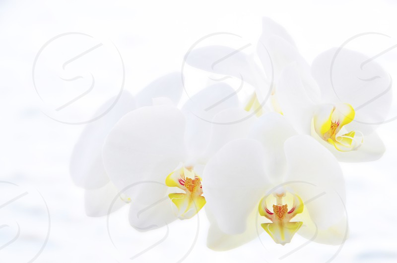 white orchid floating orchid white and yellow floral orchid picture light delicate pretty peaceful photo