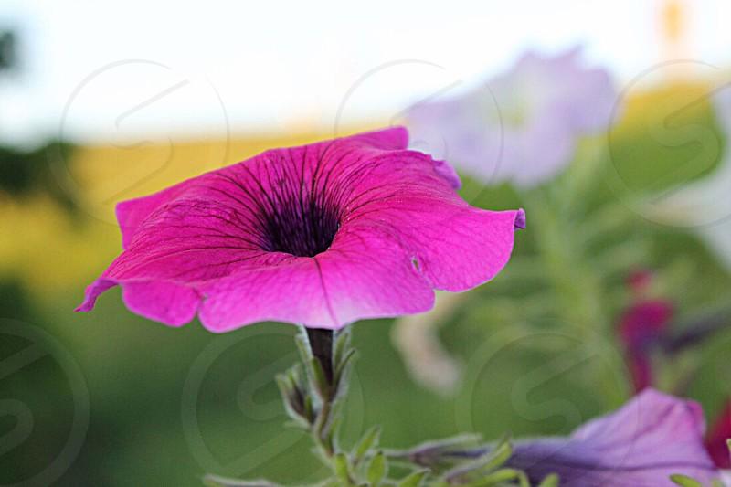 Pink Garden Spring Flower  photo