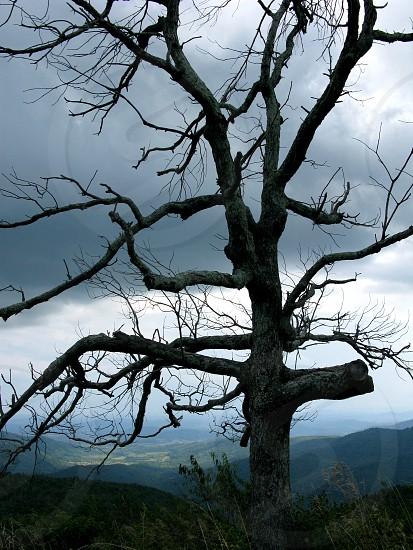 Dead tree in Shenandoah National Park. photo