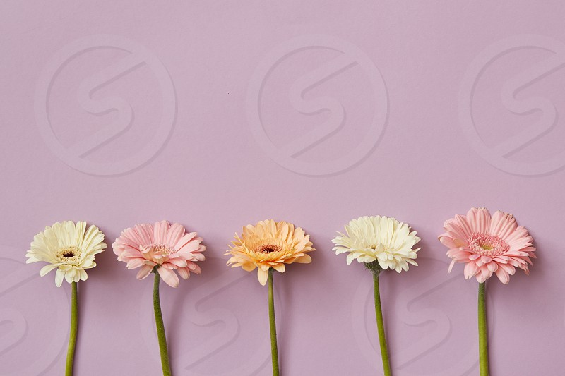 Beautiful composition from different gerberas on a pink paper background. As layout for post card on Valentine's Day or Mother's Day with copy space. Flat lay. photo