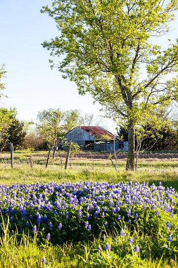 Old barn in Texas with a field of Bluebonnets. photo