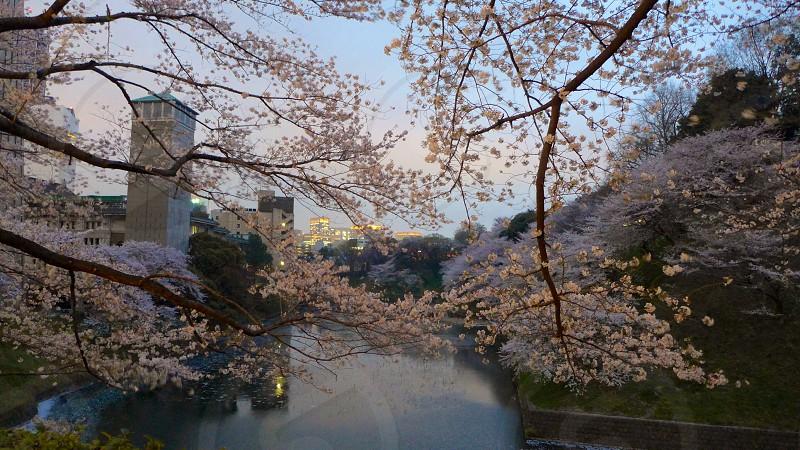 white cherry blossoms tree photo