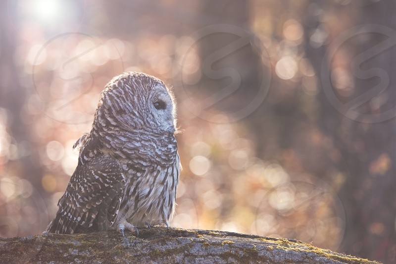 A barred owl on a moss covered fallen tree trunk with the sun setting behind it. photo