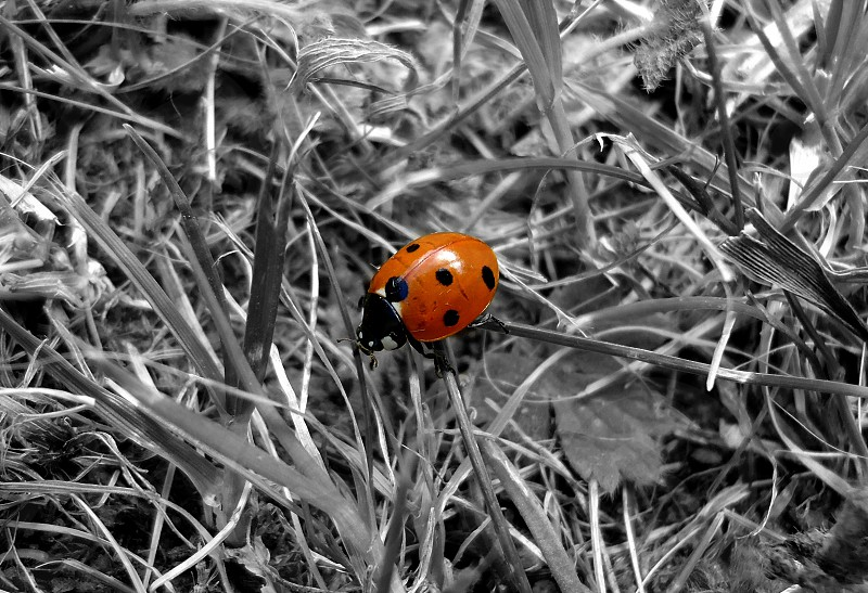 Colour Splash Ladybird photo