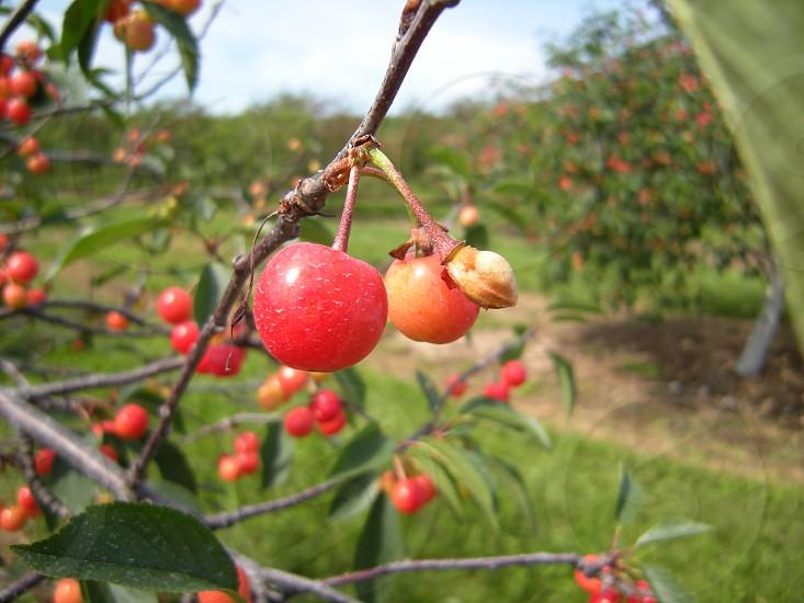 Cherries on a tree photo