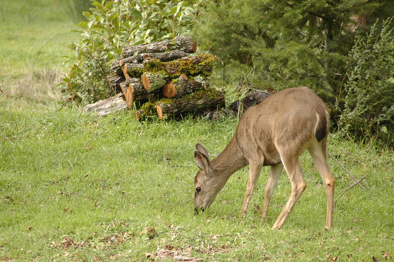 forest trees stones morning sunrise deers deer moose mooses firewood grass ground outdoor quiet photo