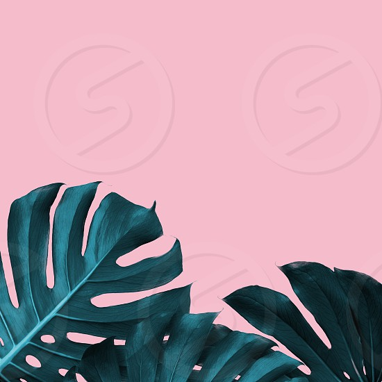 Tropical Leaves of monstera on a pink duotone background. Tropical frame with place for text trendy design photo