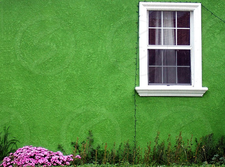 Bunch of pink flowers grow against a bright green wall of a house with a white window frame. photo