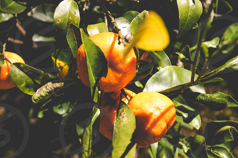 organic mandarin tree photo