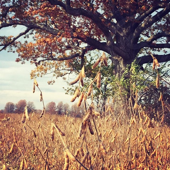 Lonesome tree surrounded by a field of seasonal dying soybeans  photo